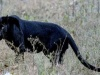 Rare Black Panther Found Wounded At An Estate In Nallathanniya Dies While Being Treated At Udawalawa Centre